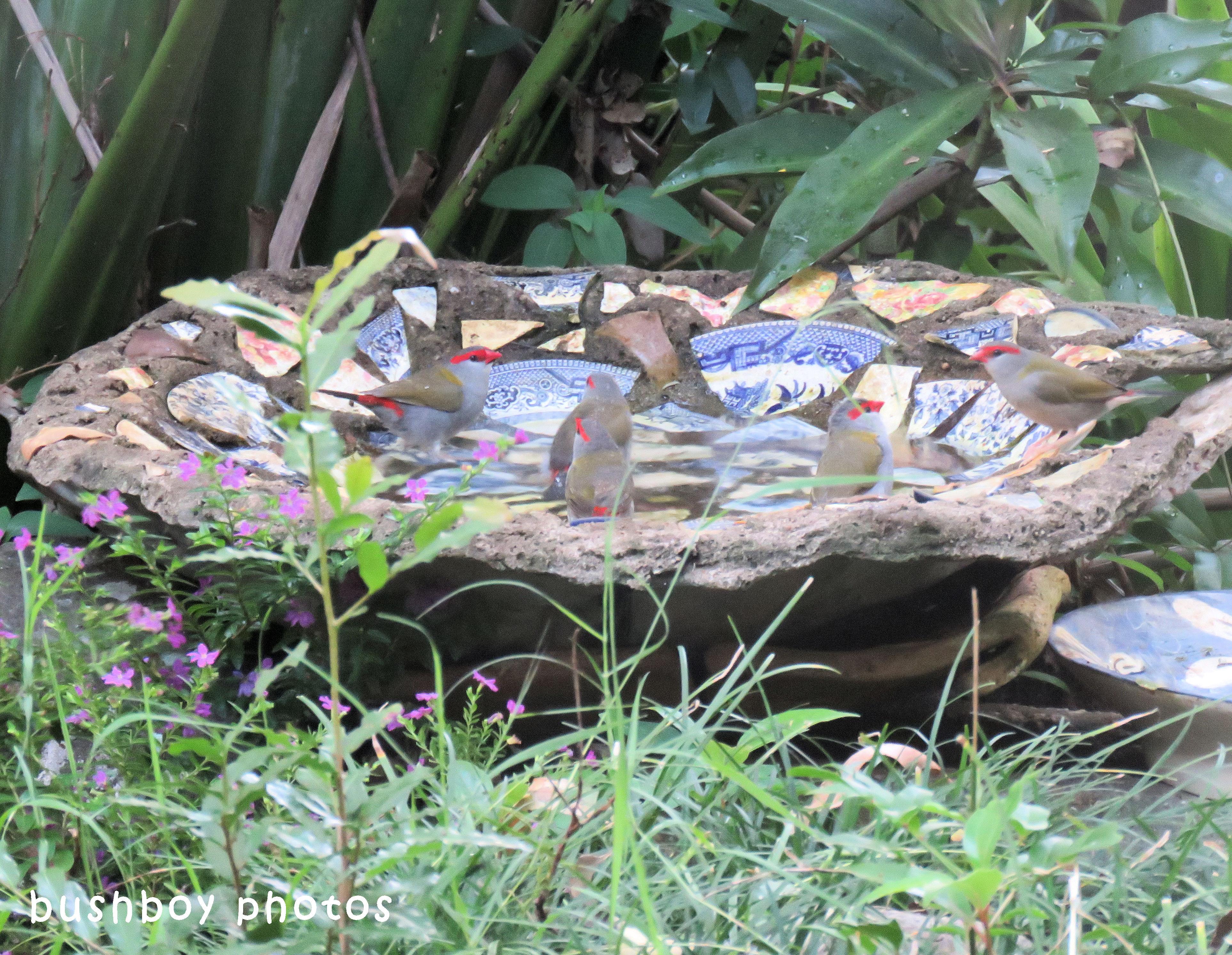 180425_blog challenge_partake_bird bath_red browed finches
