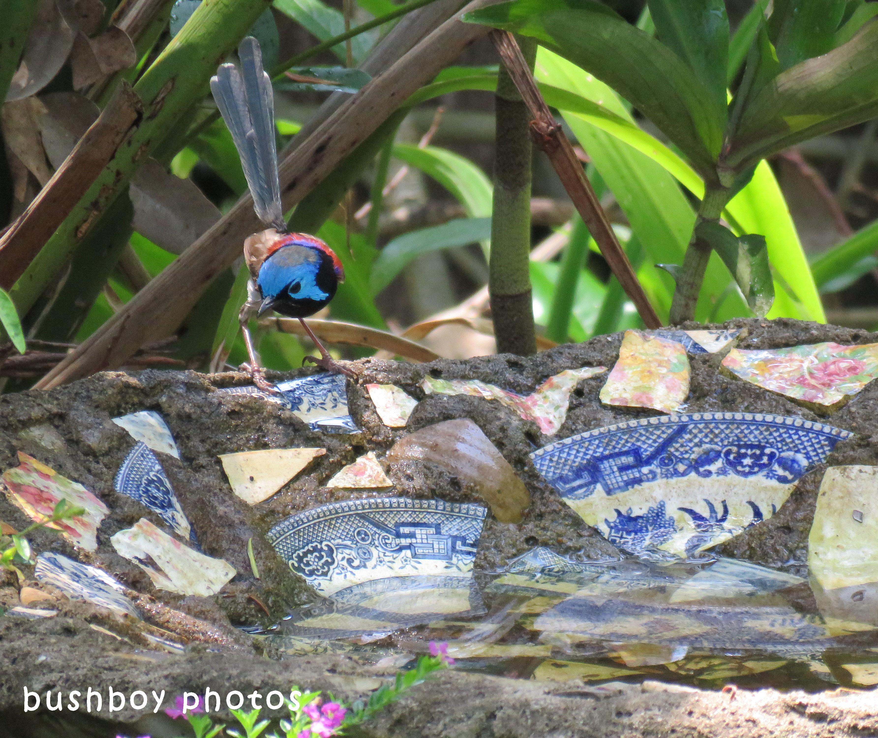 180425_blog challenge_partake_bird bath_variegated fairy wren