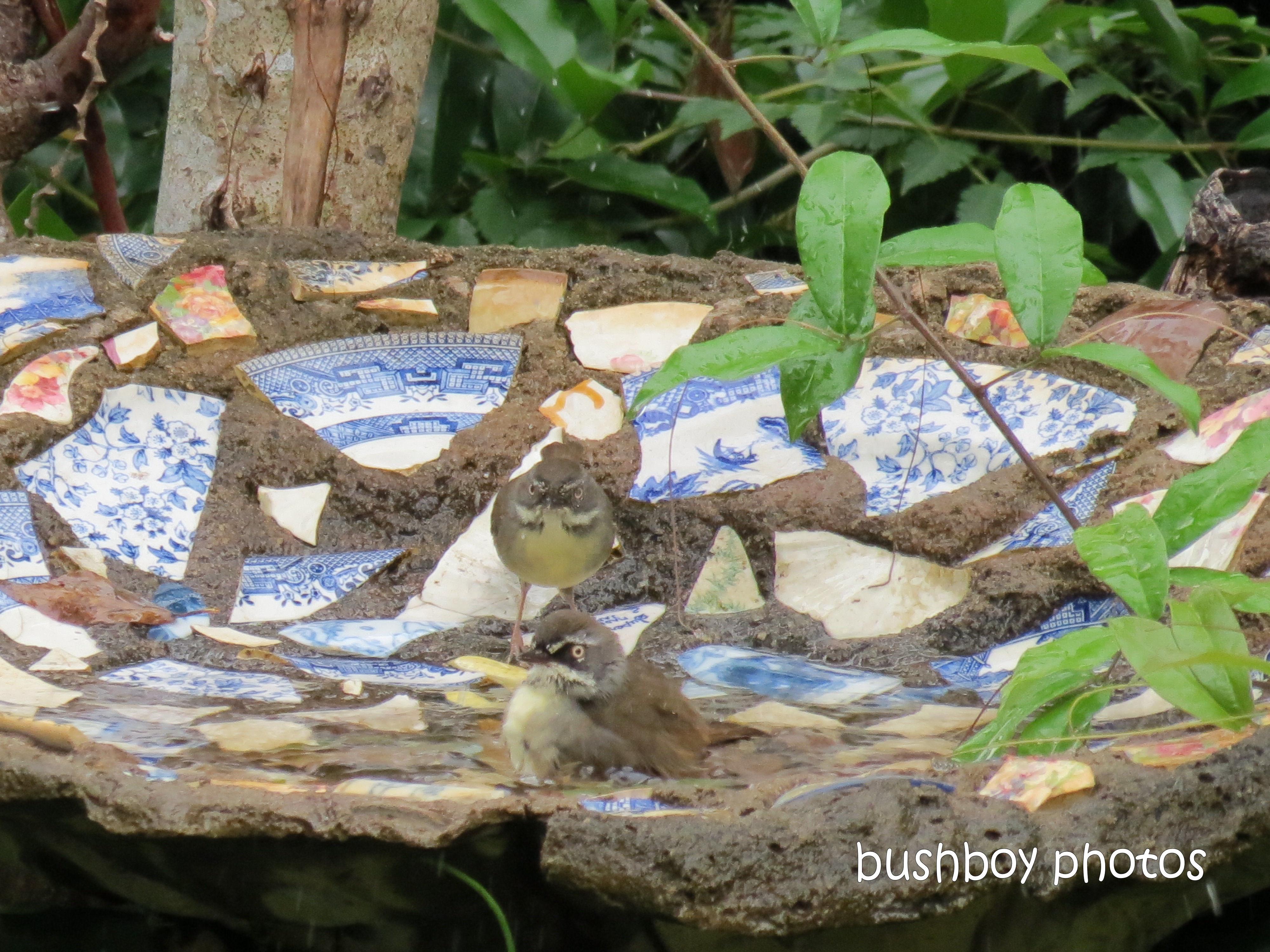 180425_blog challenge_partake_bird bath_white browed scrub wrens
