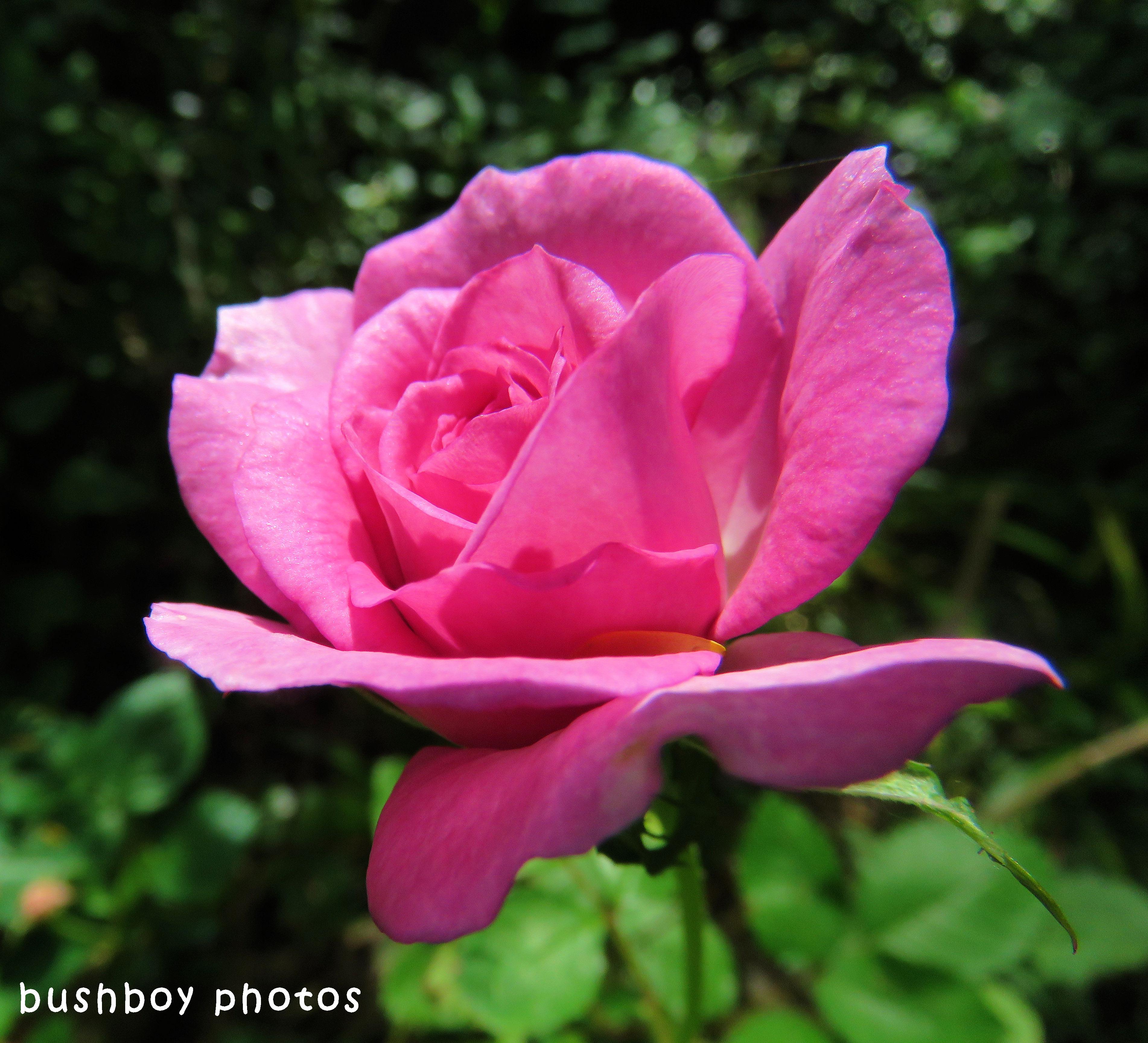 180426_blog challenge_lines_rose