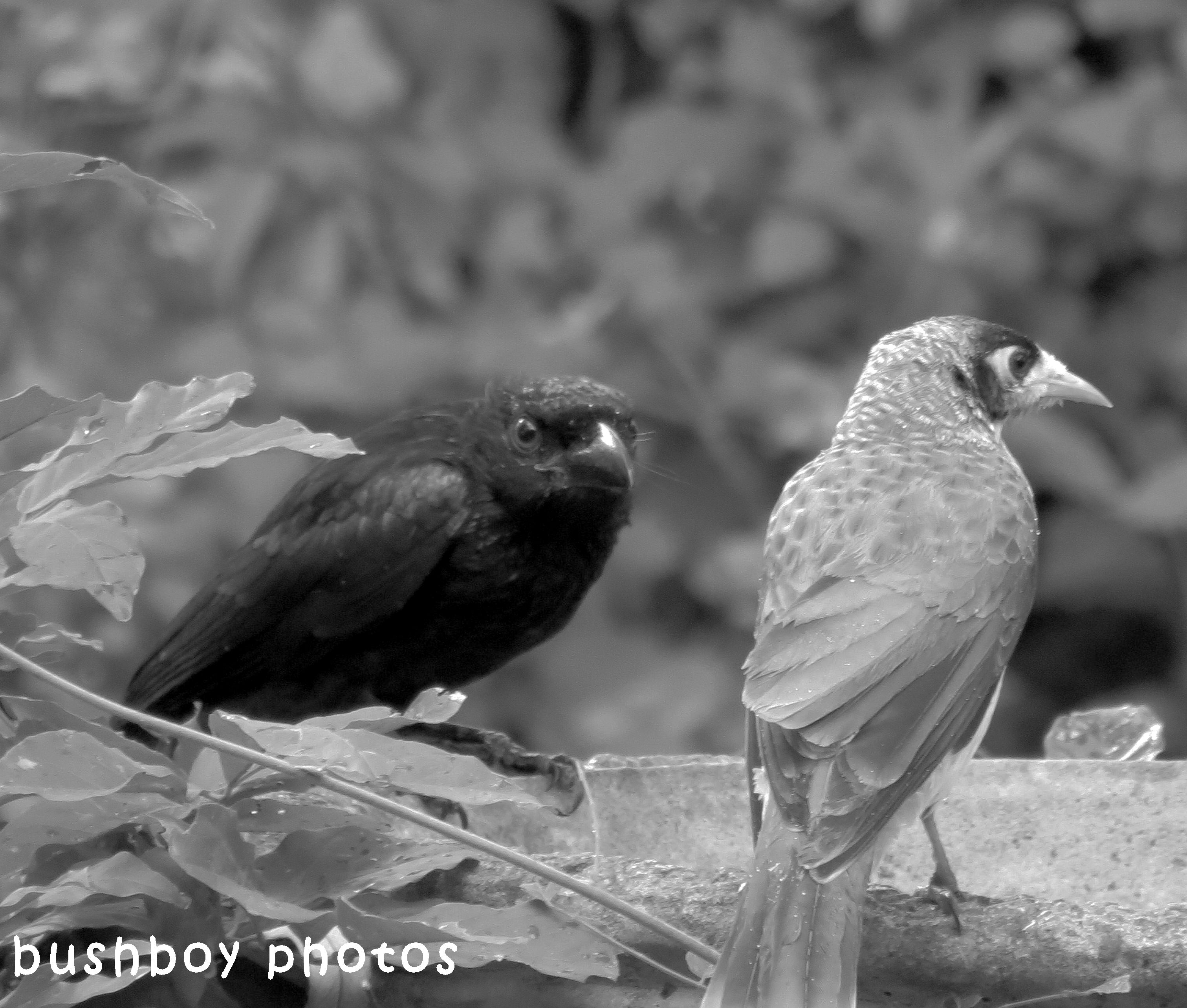 180427_blog challenge_blackandwhite_two differnt things_spangled drongo_noisey minor