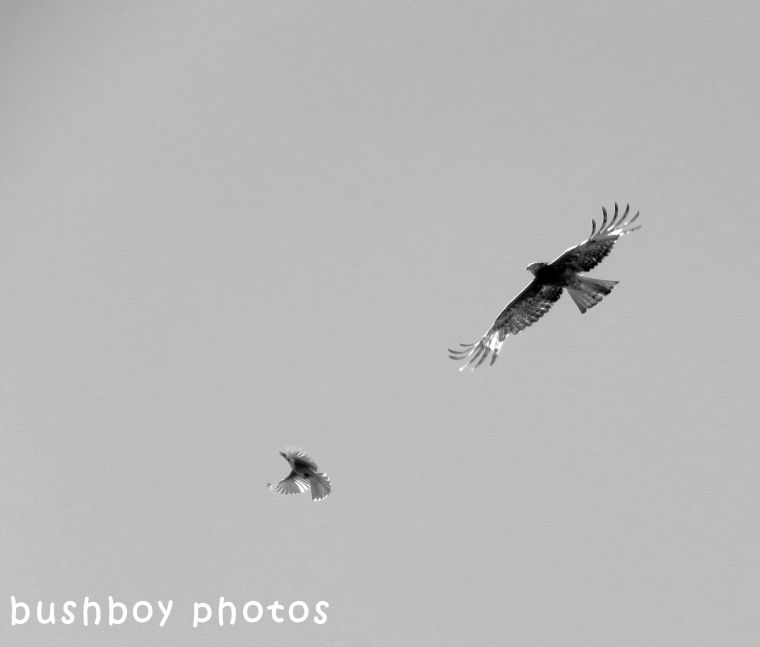 180427_blog challenge_blackandwhite_two differnt things_square tailed kite_friarbird