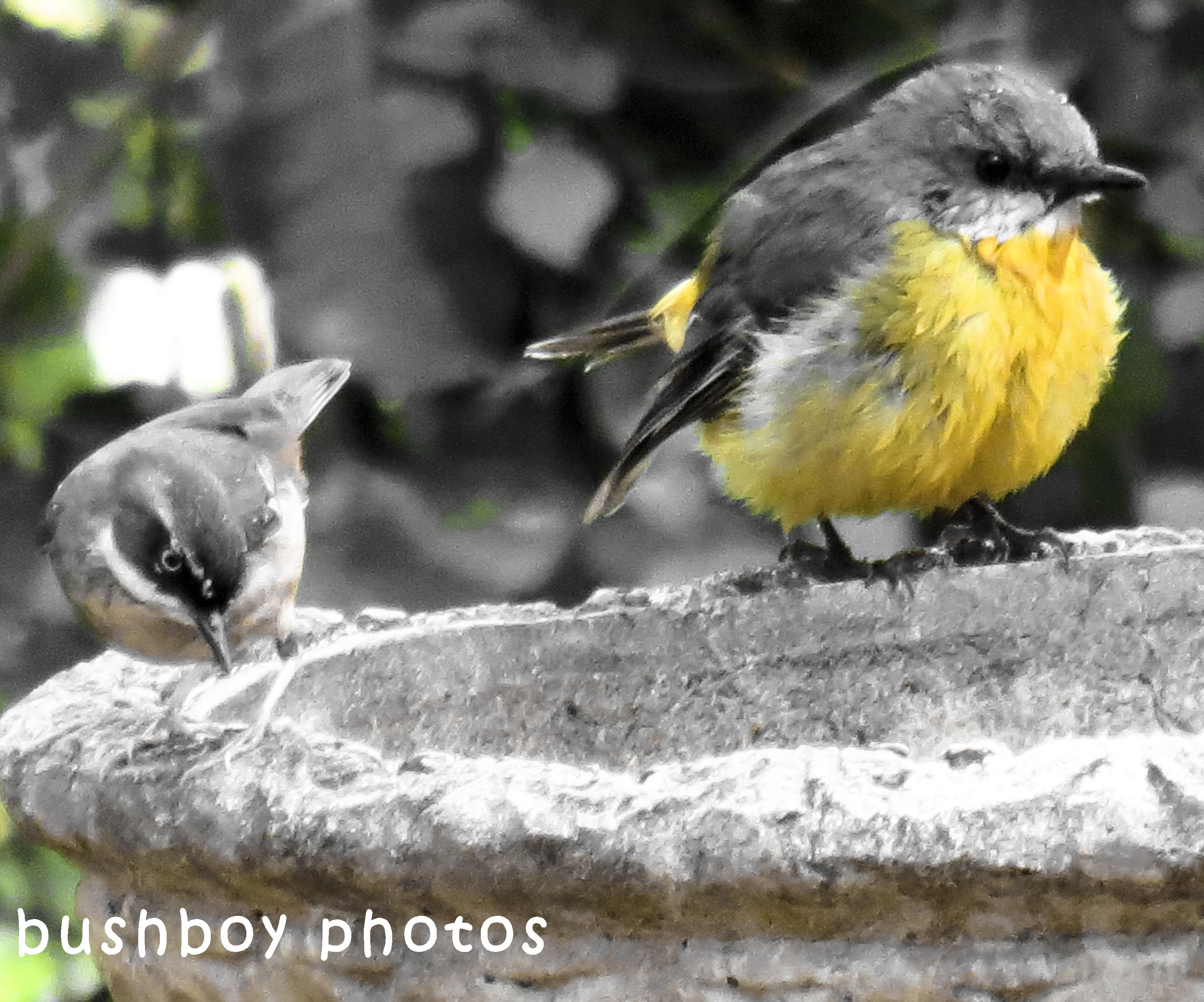 180427_blog challenge_blackandwhite_two differnt things_white browed scrub wren_northern yellow robin