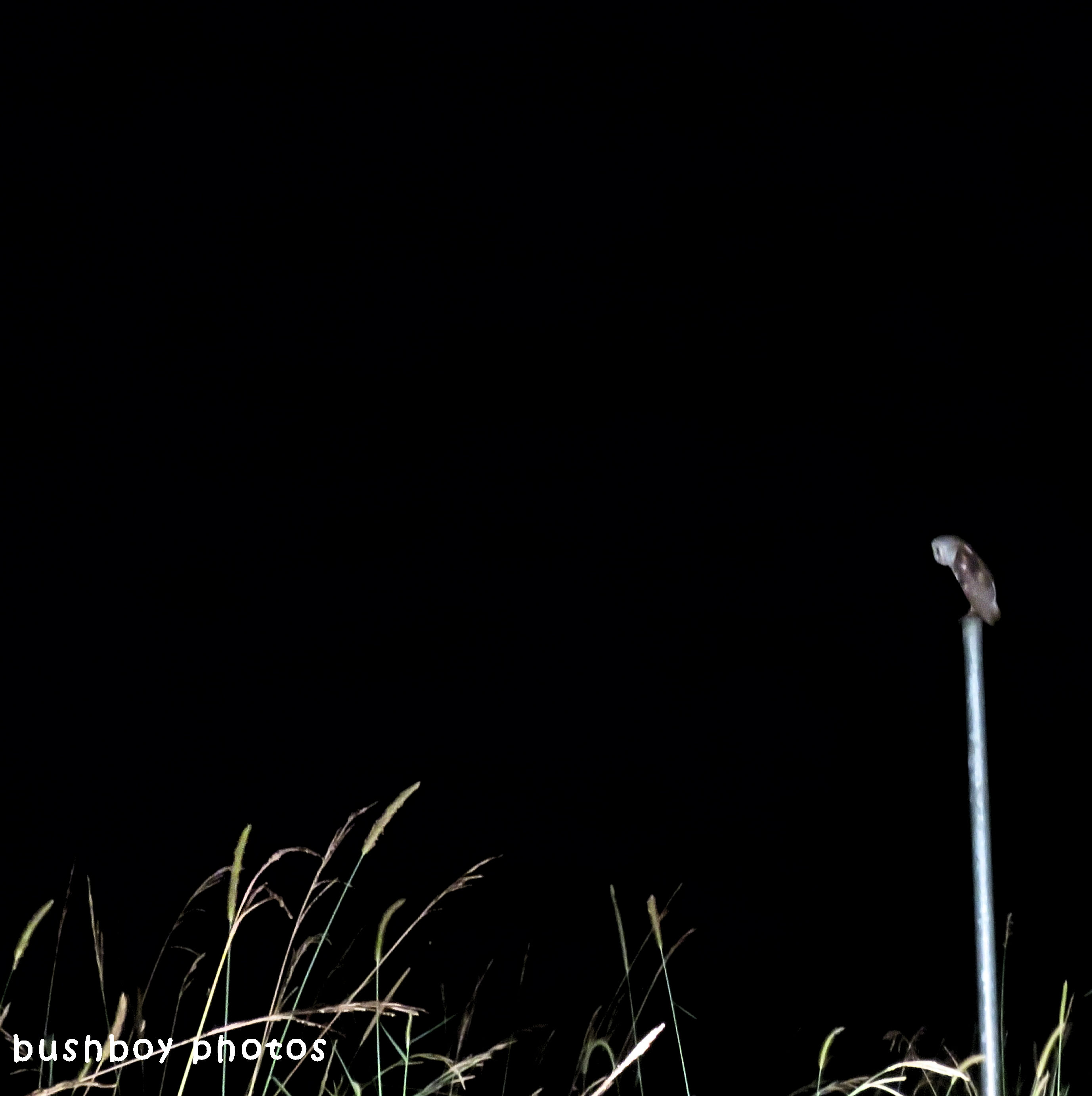 barn owl_night_binna burra_april 2018