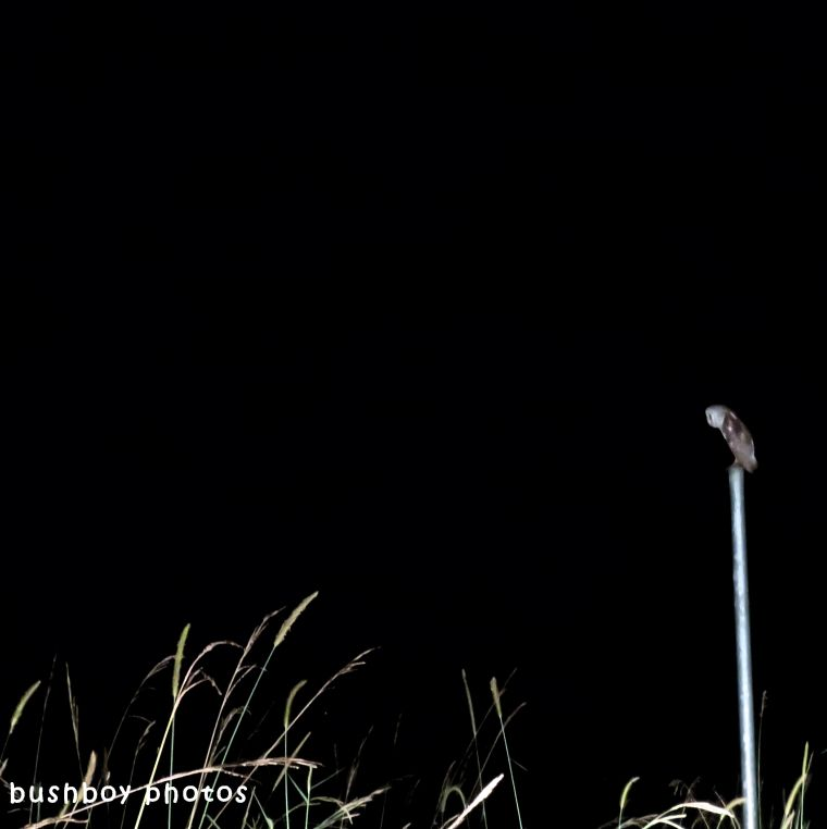 barn owl_night_binna burra_april 2018