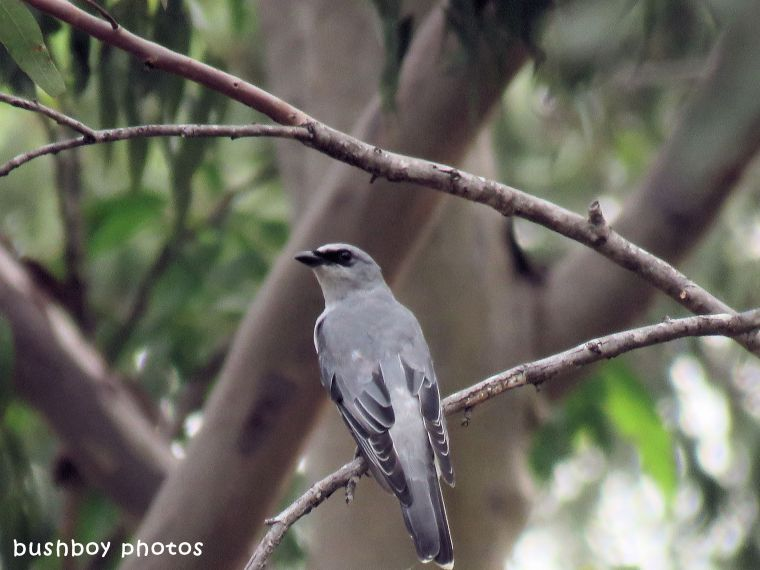 black faced cuckoo shrike_juvenile_named_jackadgery_march 2018