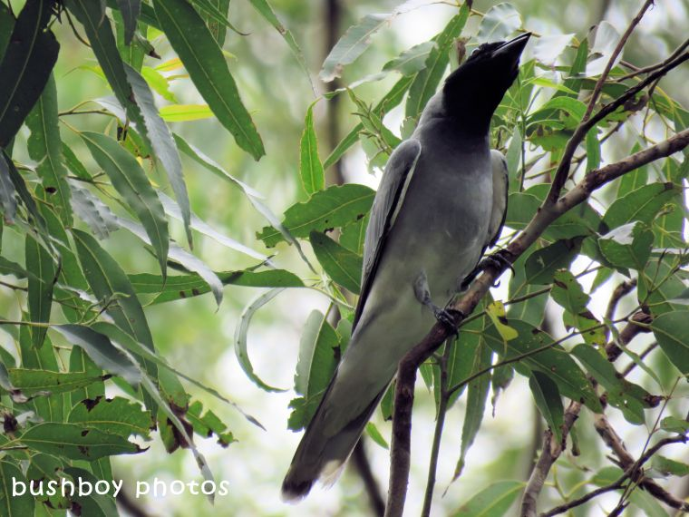 black faced cuckoo shrike_named_binna burra_march 2018