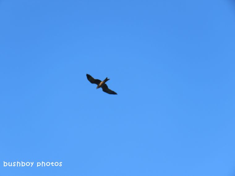 black kite_named_lismore_march 2018