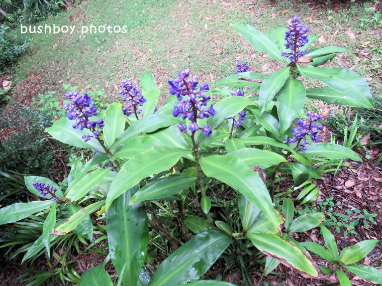 blue ginger flowers_named_binna burra_march 2018