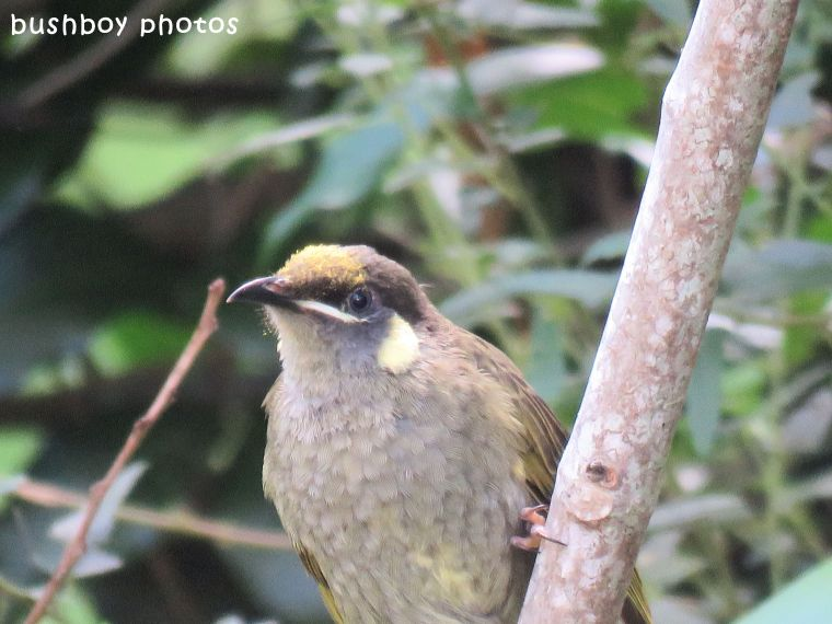 lewins honeyeater_pollen head_named_binna burra_march 2018
