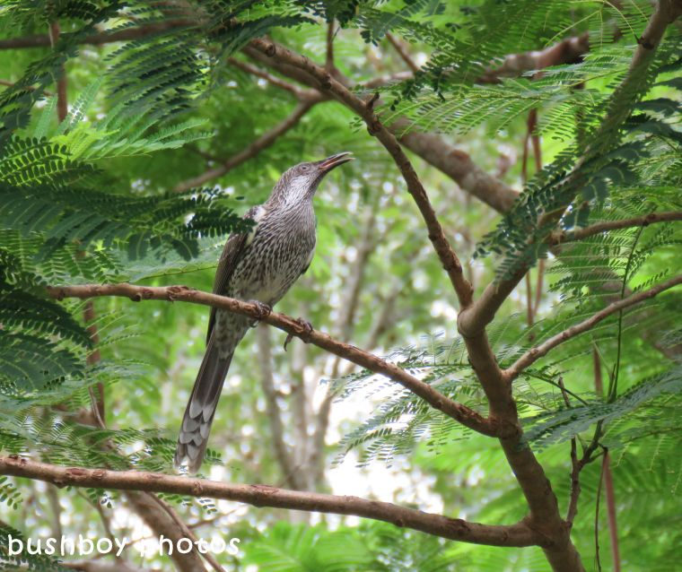 little wattlebird_named_binna burra_march 2018