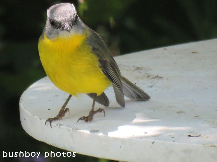 northern yellow robin_table_named_binna burra_march 2018