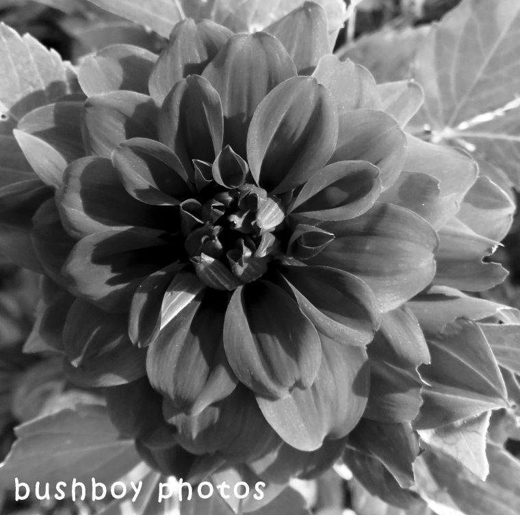 shape_texture_dahlia_named_april 2018