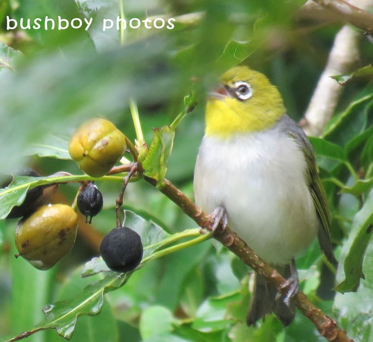 silvereye_named_road_binna burra_march 2018