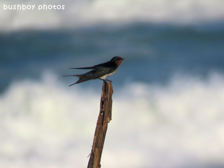 welcome swallow_named_brunswick heads_march 2018
