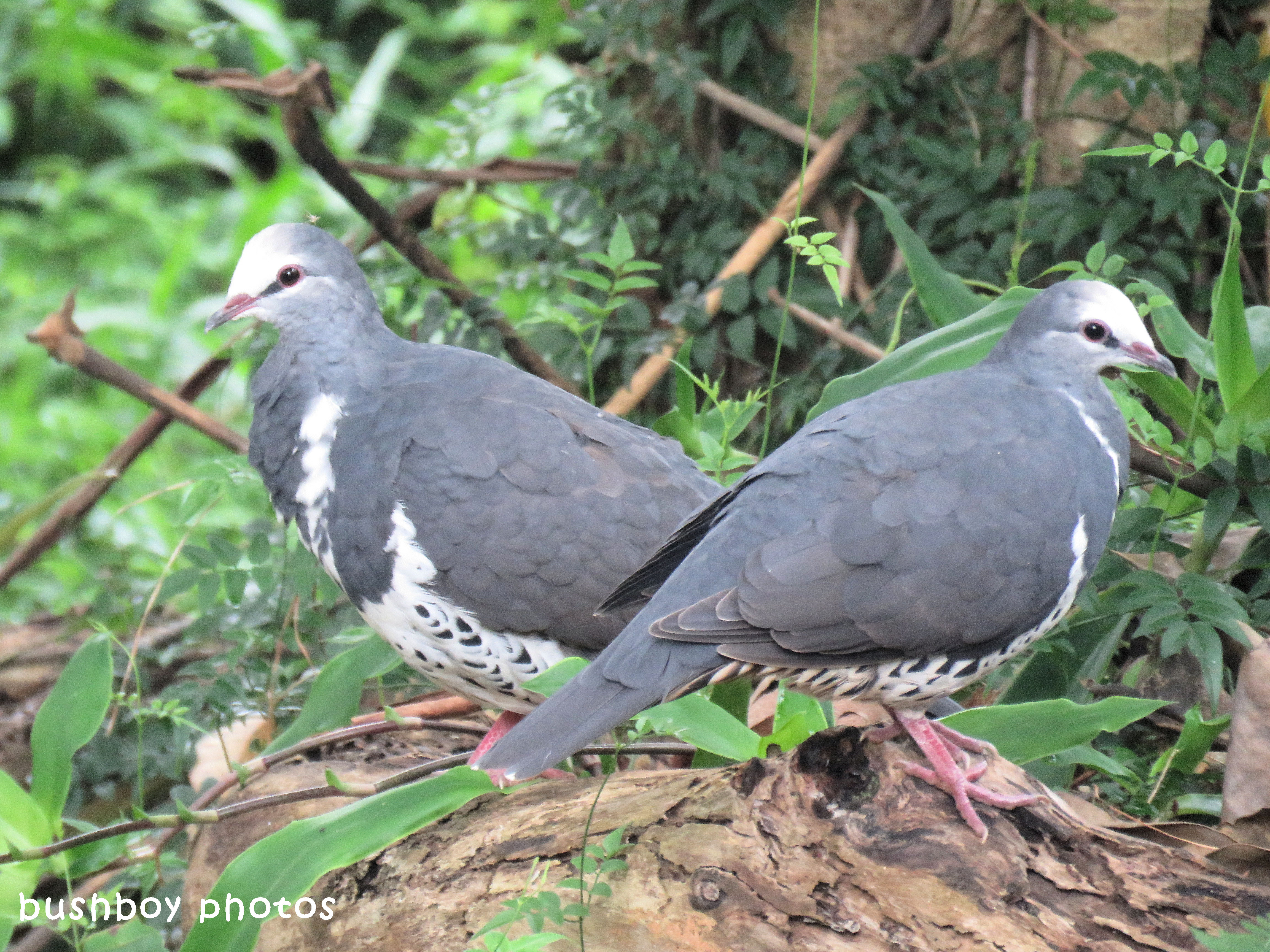 wonga pigeons_named_binna burra_march 2018