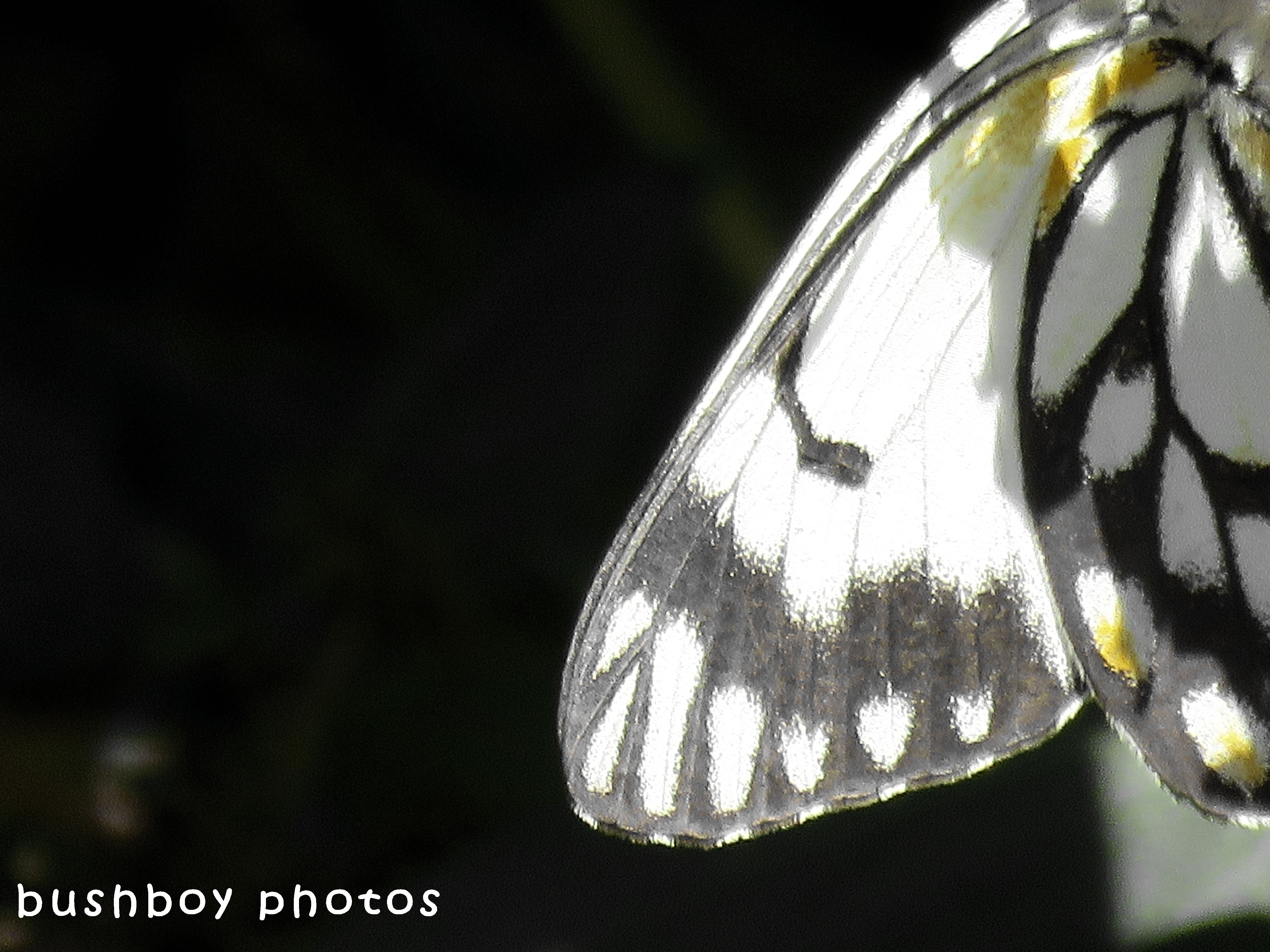 180504_black and white_close ups_caper white butterfly wing