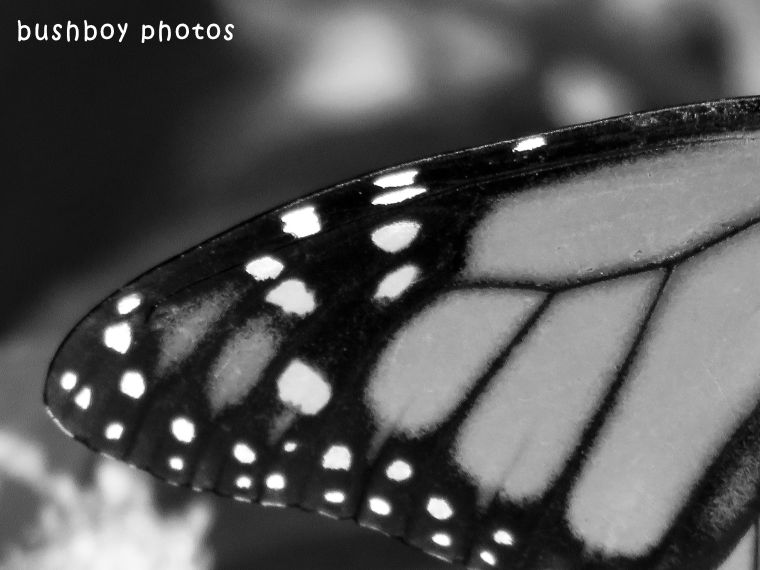 180504_black and white_close ups_wanderer butterfly wing