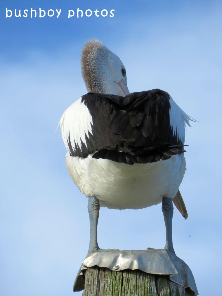180504_blog challenge_pelican_behind