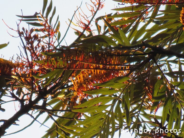 180520_blog challenge_saturation_silky oak flowers