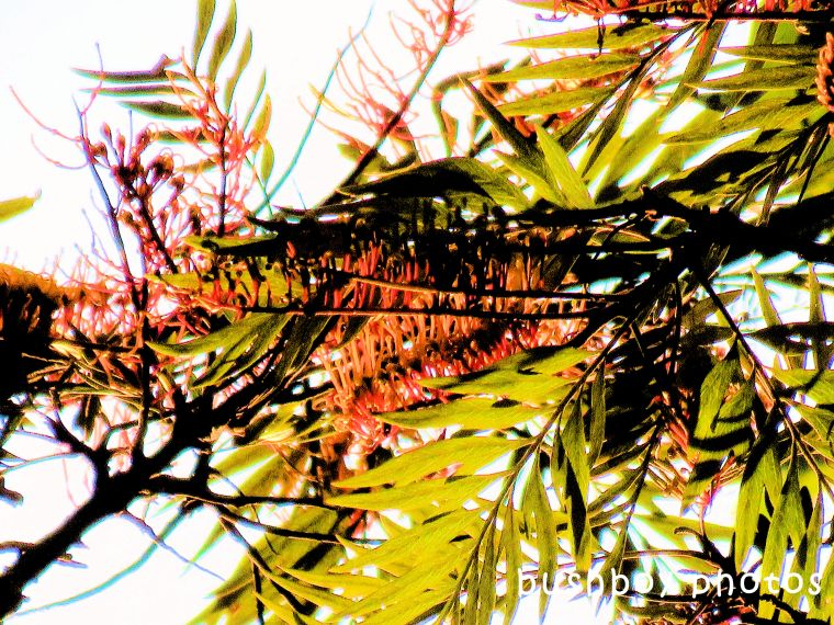 180520_blog challenge_saturation_silky oak flowers_changed