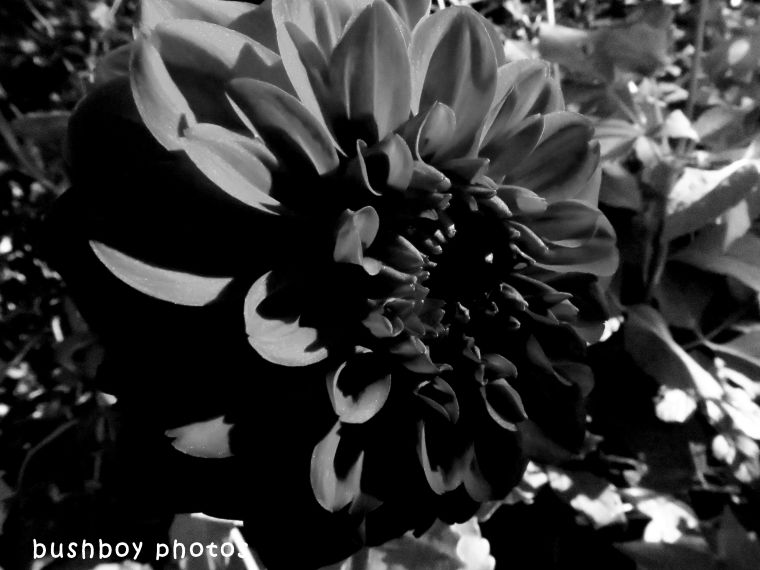 180530_blackand white_flowers_dahlia