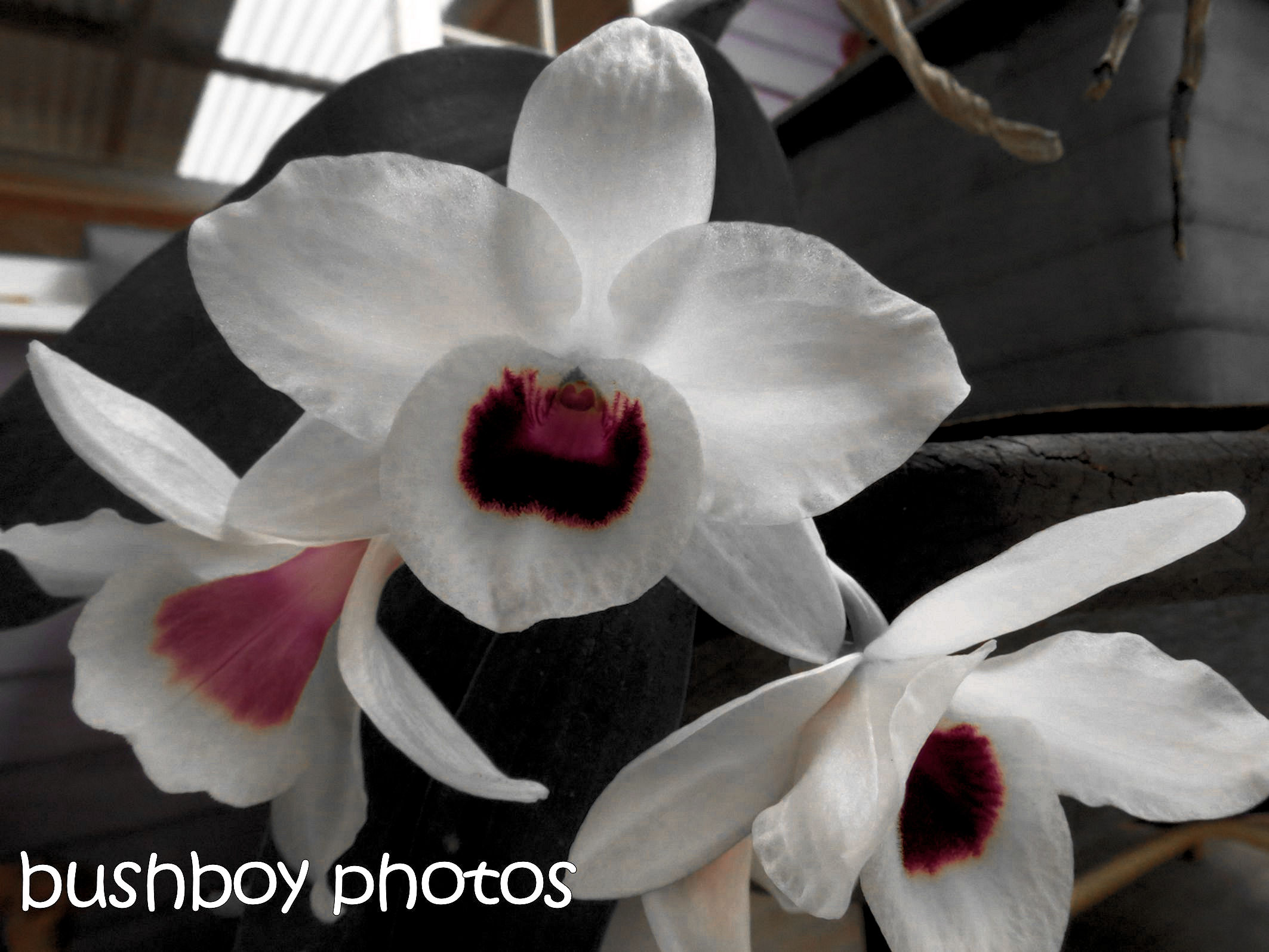 180530_blackand white_flowers_orchid
