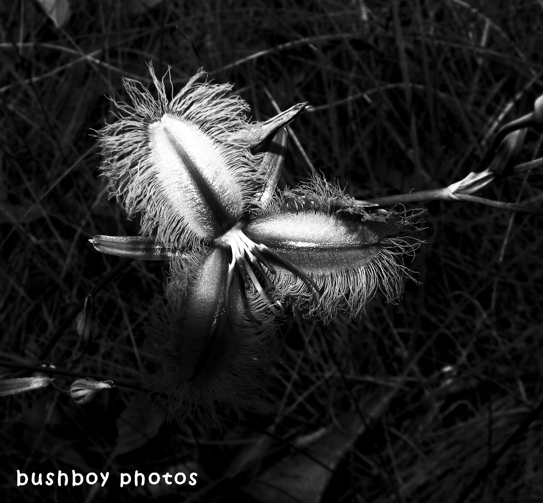 180530_blackand white_flowers_purple fringe lily