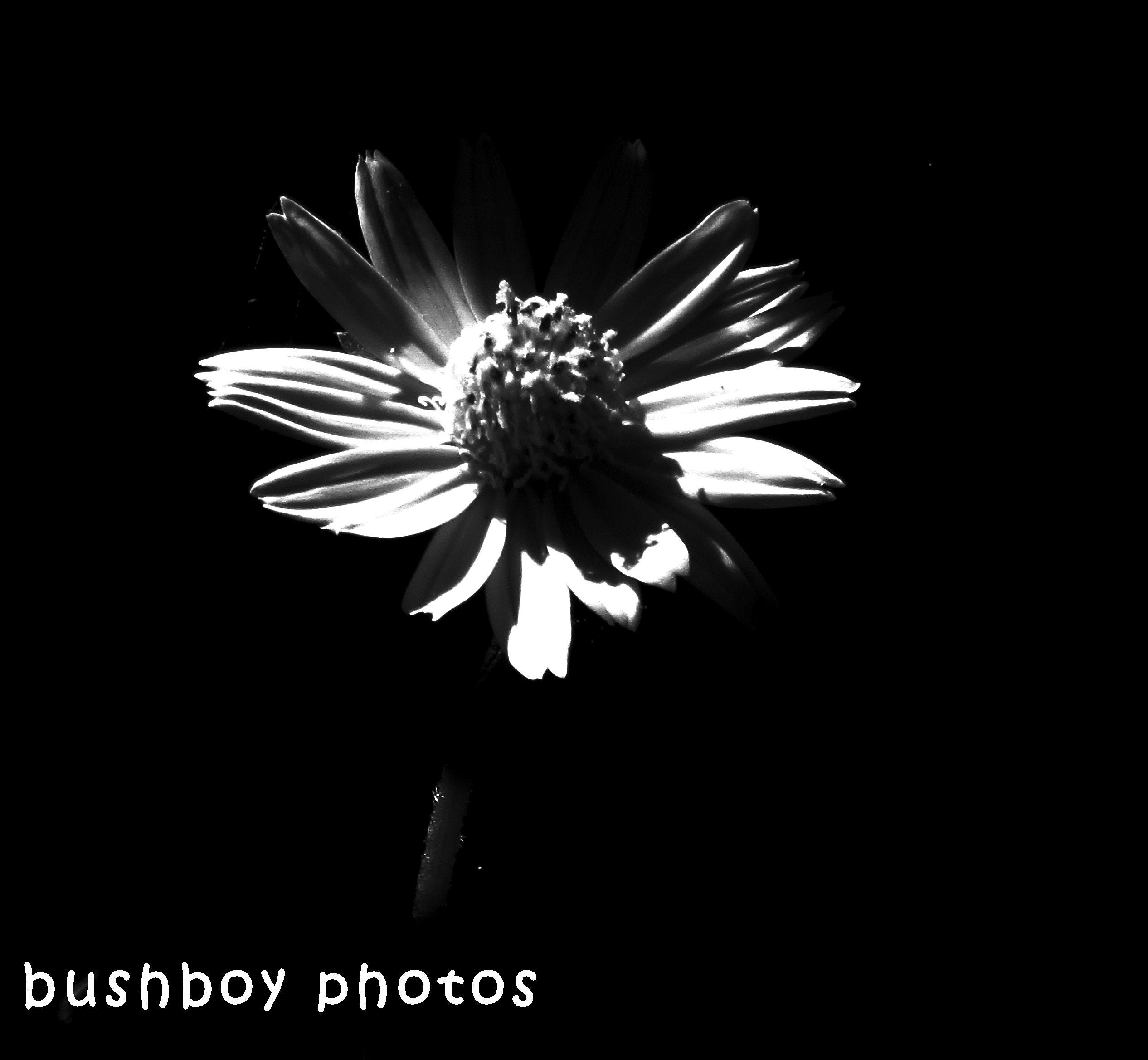 180530_blackand white_flowers_singapore daisy
