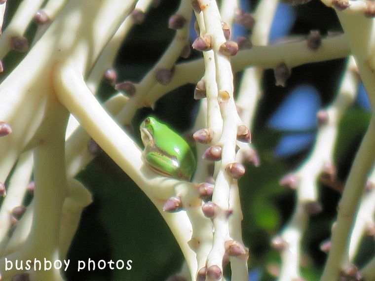 bangalow palm flower buds_frog02_named_home_april 2018