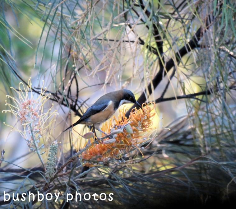 eastern spinebill_honeygem grevillea_named_home_may 2018
