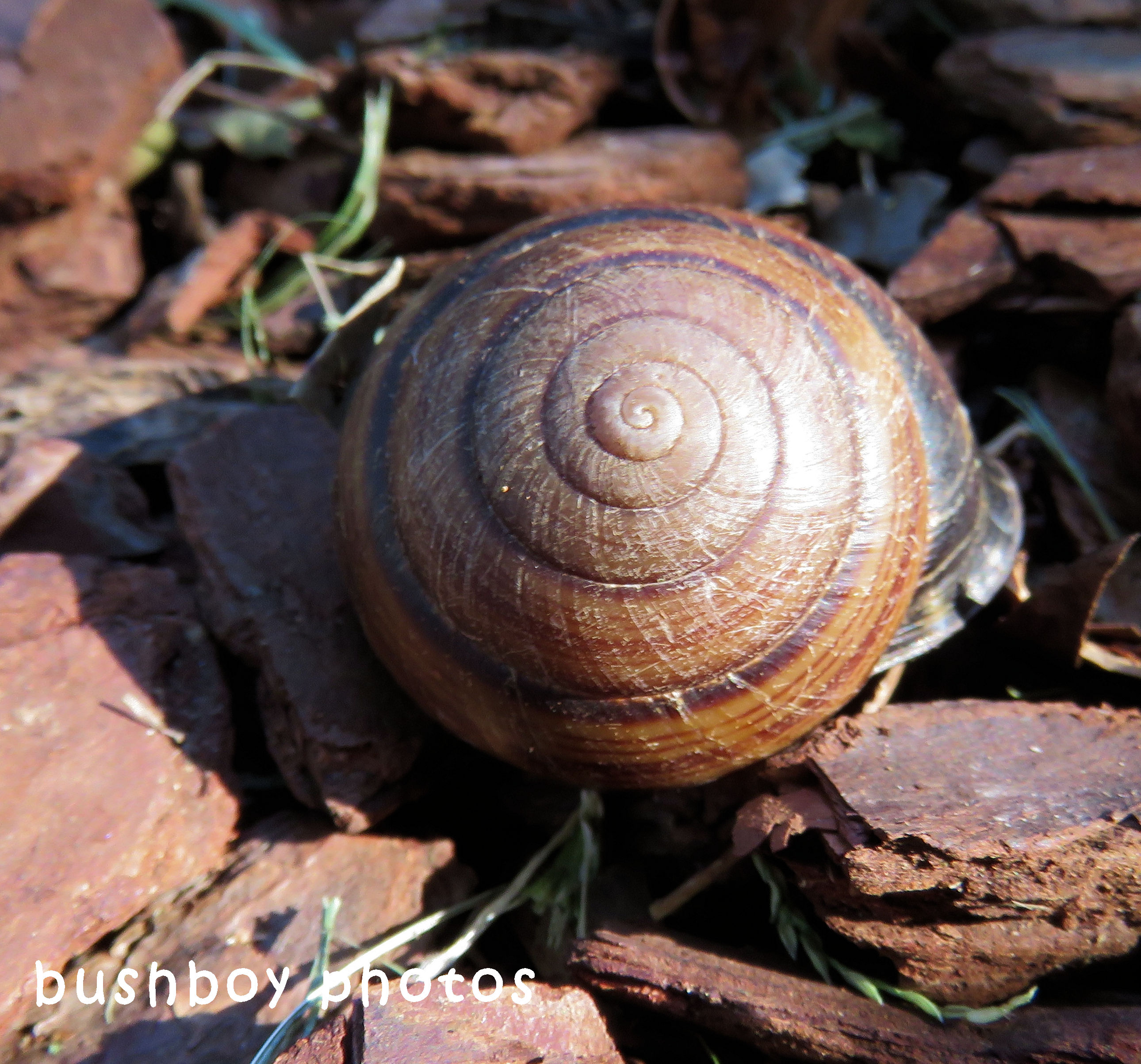 frasers banded snail shell_top_named_binna burra_may 2018