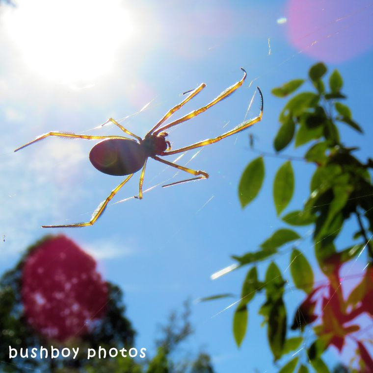 golden orb weaver_sky_named_home_may 2018