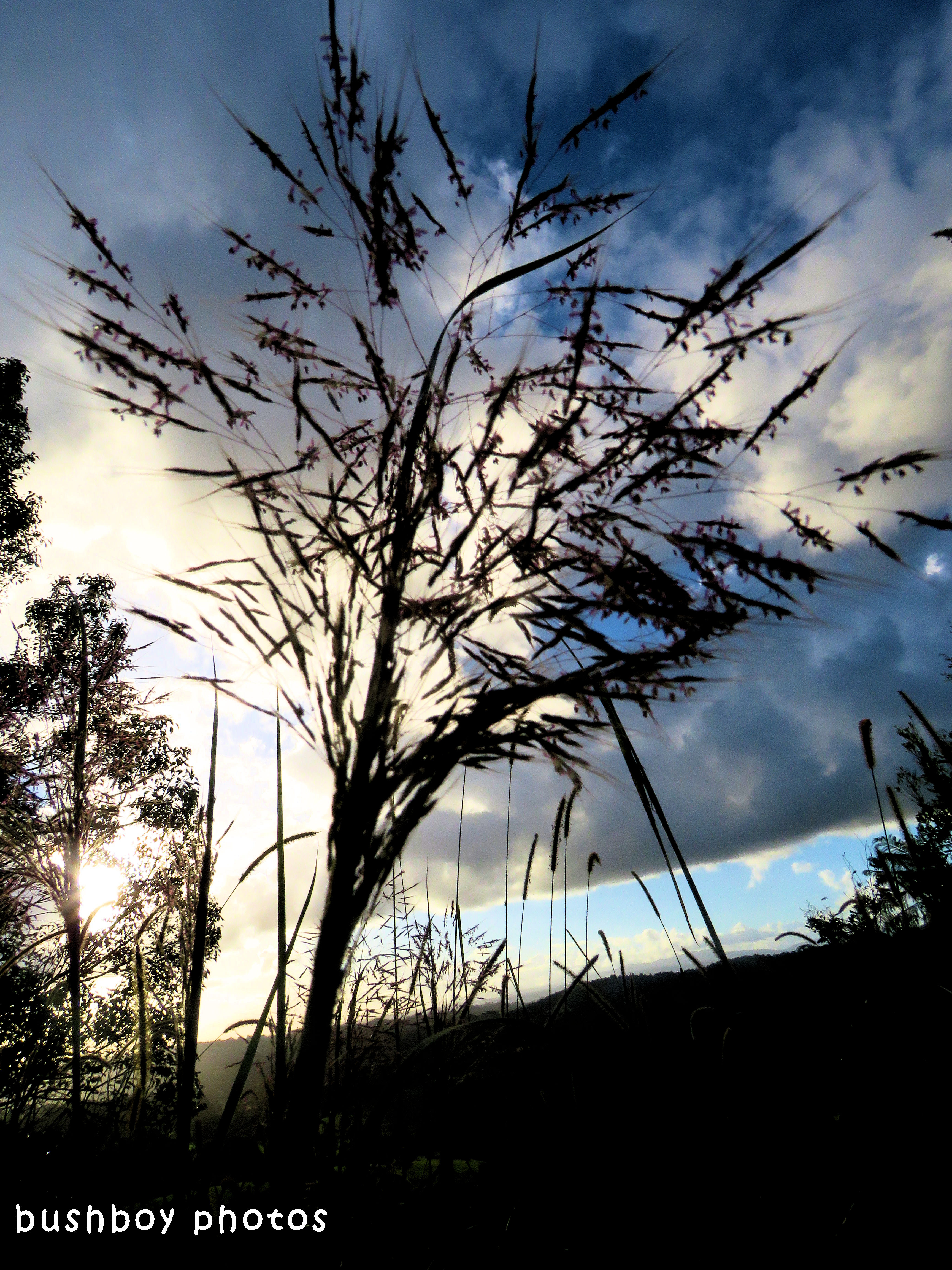 grass seed_tree_sunset_named_binna burra_april 2018