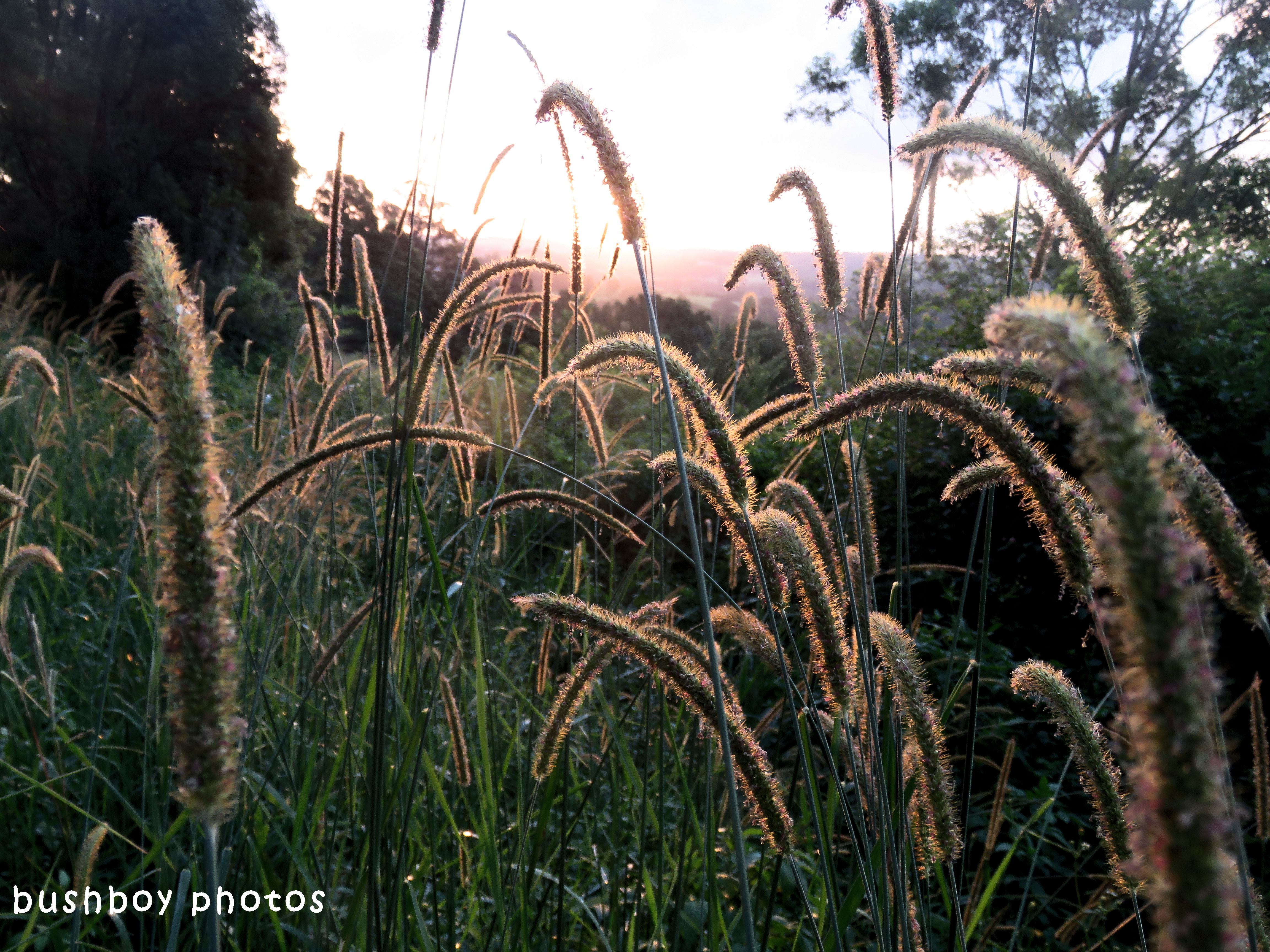 grass seeds_sunset_named_binna burra_april 2018