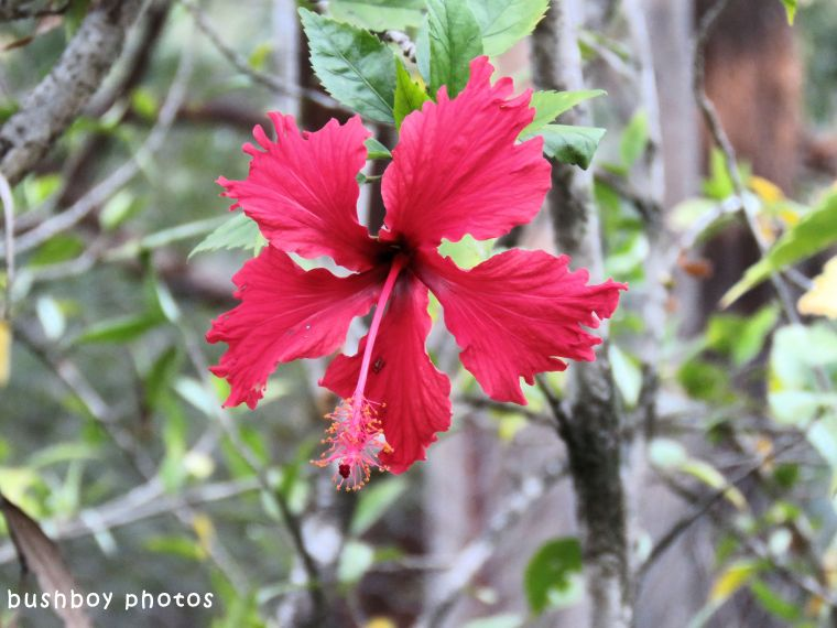 hibiscus_named_home_may 2018
