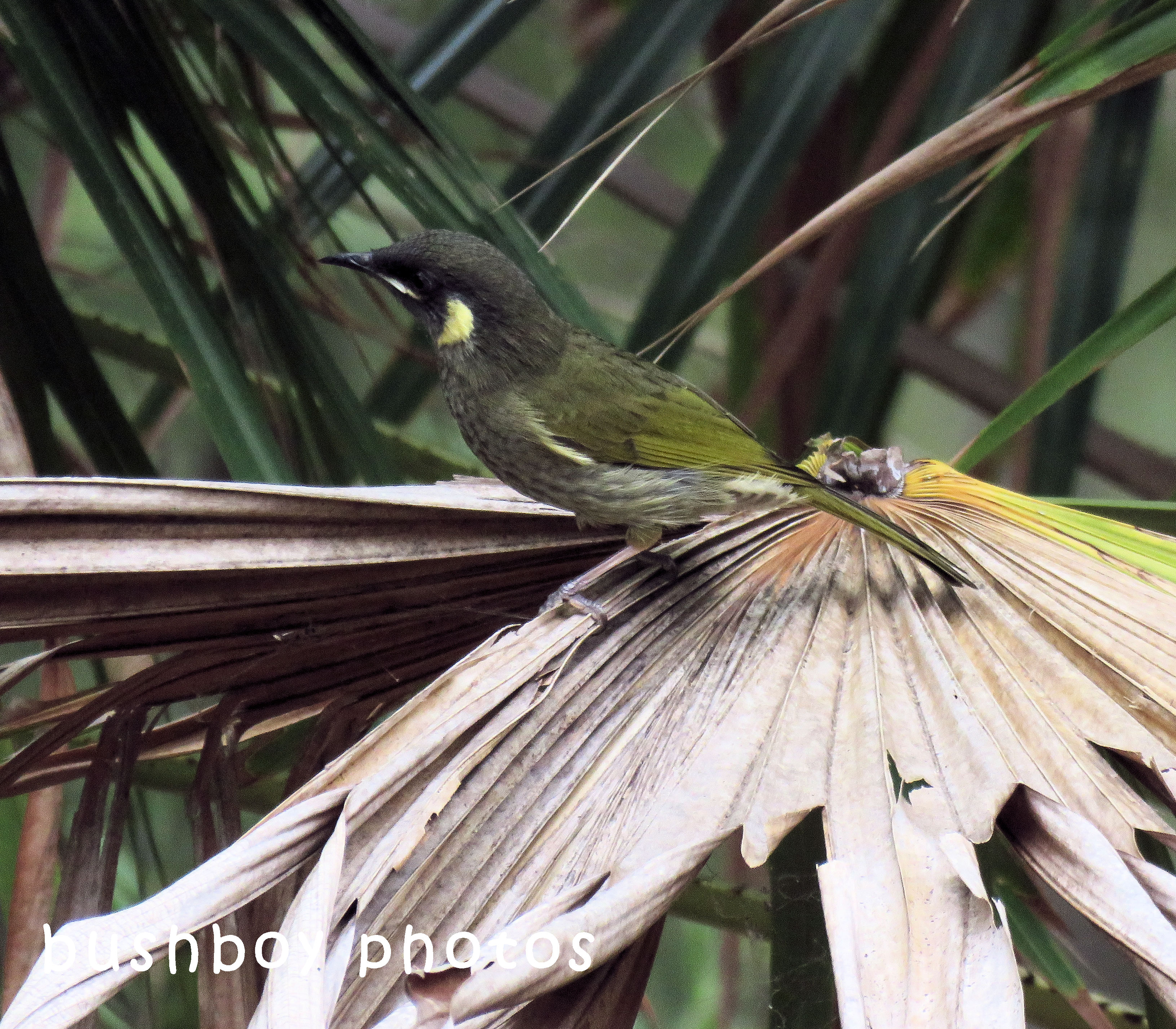 lewins honeyeater_palm_named_home_april 2018