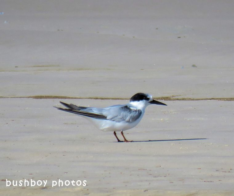 little tern_named_south ballina beach_may 2018