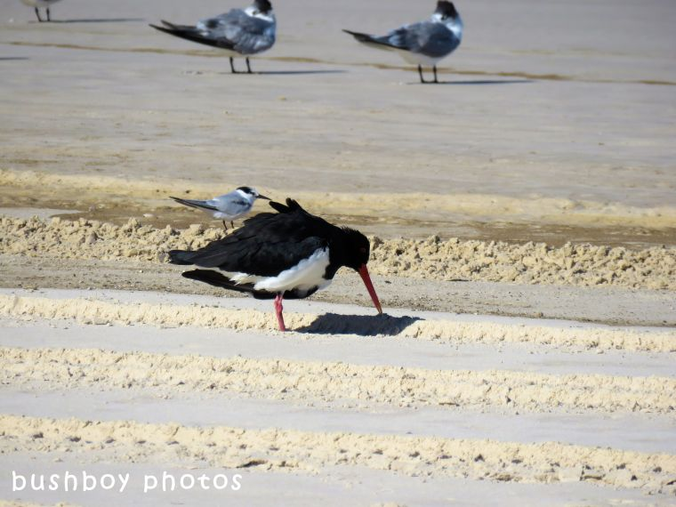little tern_sooty oystercatcher_named_south ballina beach_may 2018