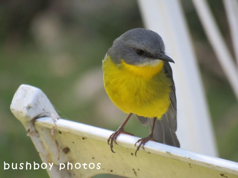 northern yellow robin_bobbin_named_binna burra_may 2018