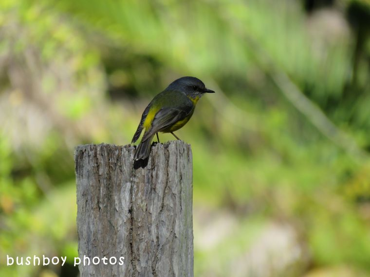 northern yellow robin_post_named_home_may 2018
