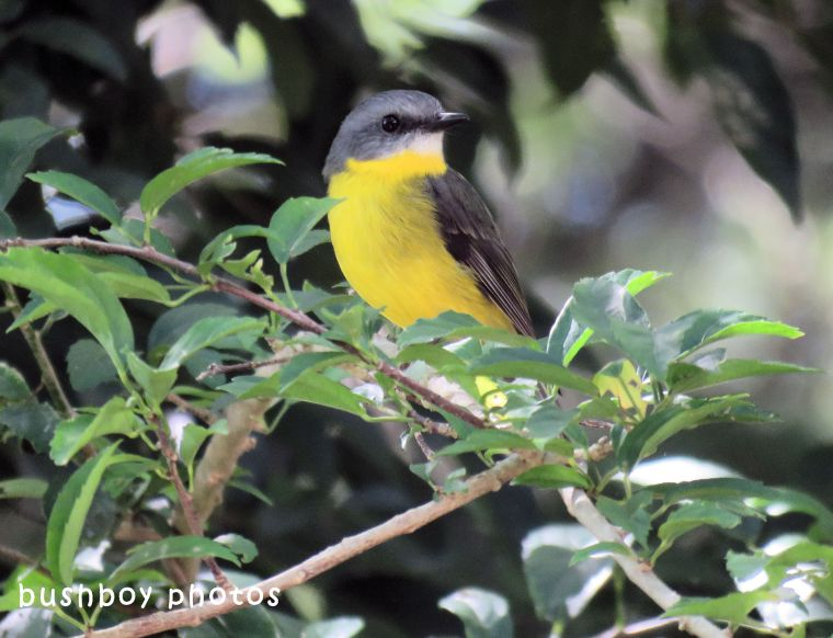 northern yellow robin_tree_named_binna burra_april 2018