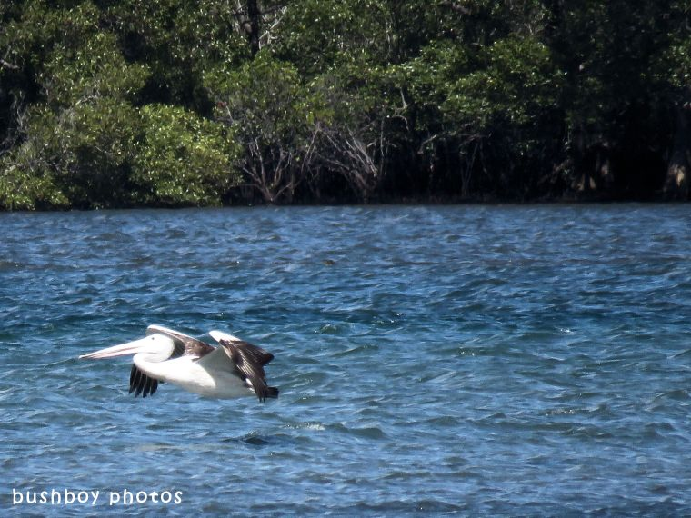 pelican_flying_named_ballina_april 2018