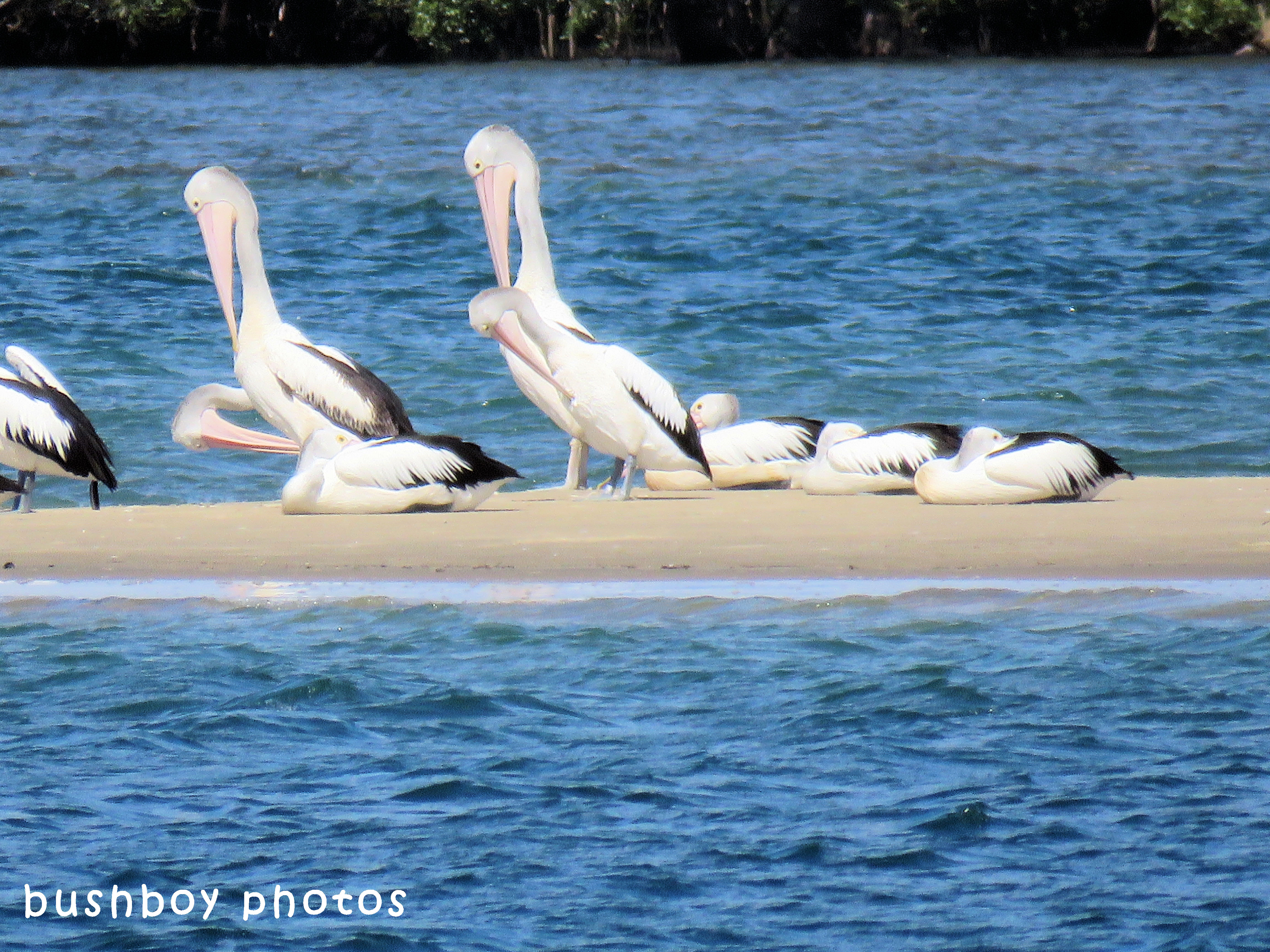 pelicans_sandbar_named_ballina_april 2018