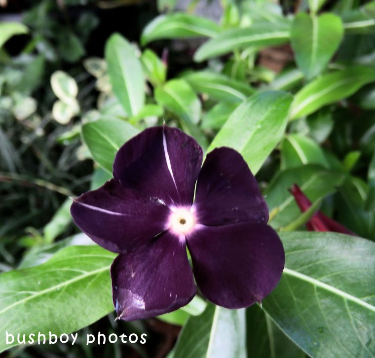 purple flower_named_binna burra_may 2018