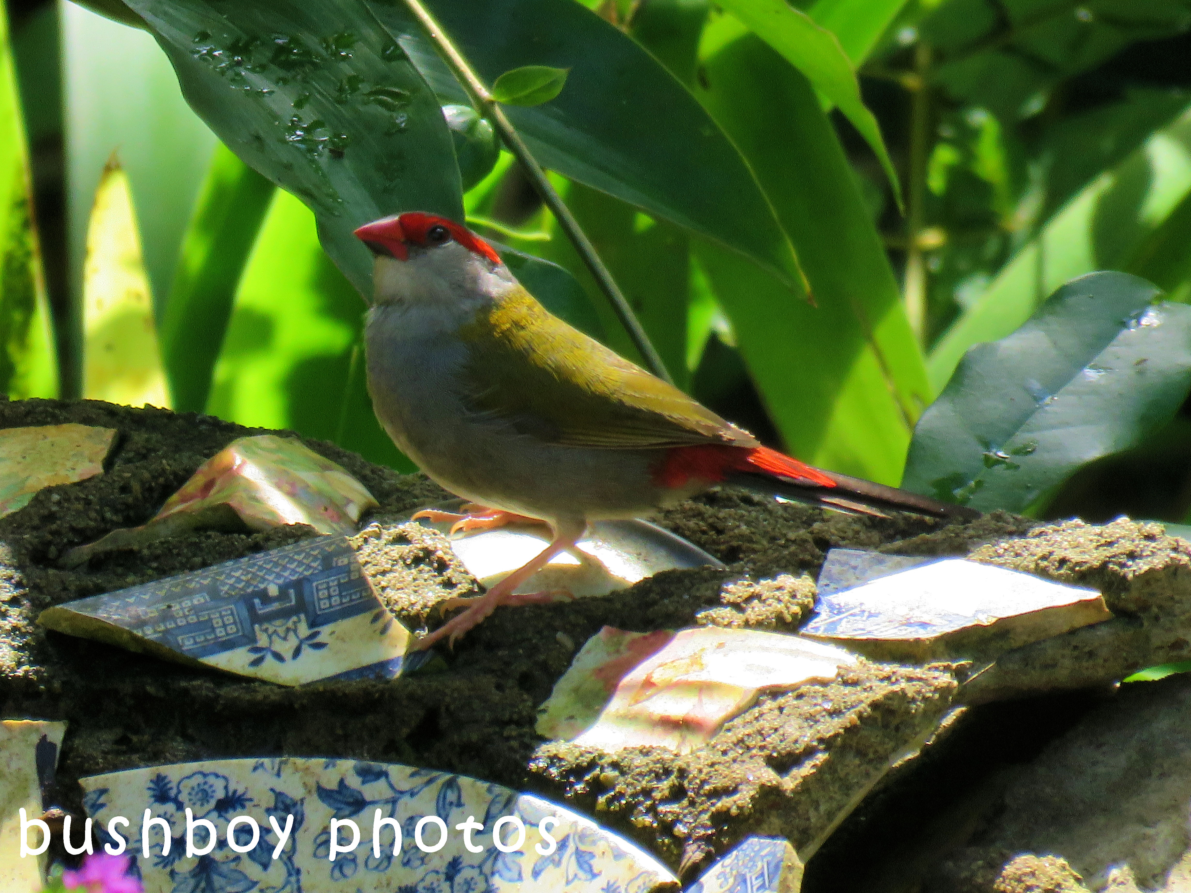 red browed firetail finch_bird bath_binna burra_april 2018