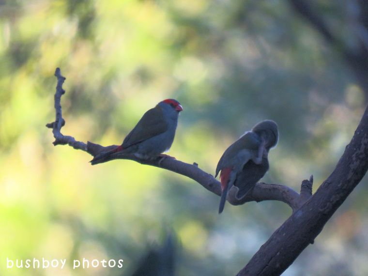 red browed firetail finchs_named_binna burra_april 2018