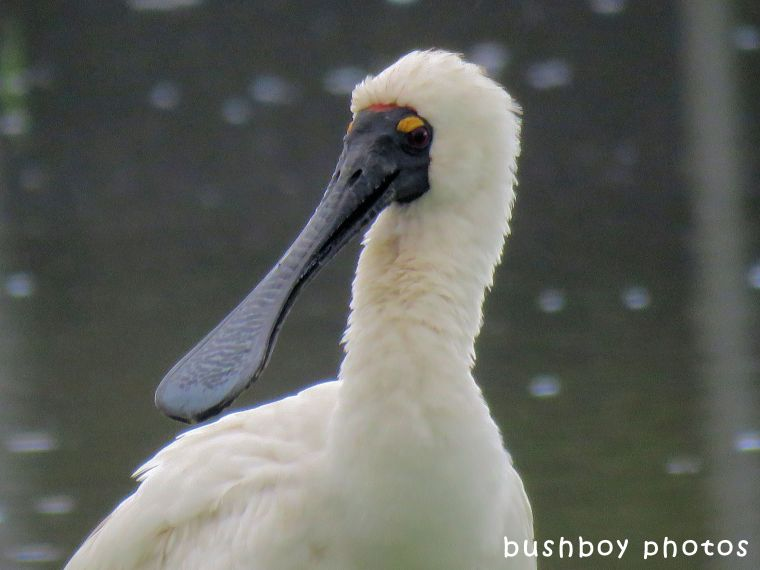 royal spoonbill_close_named_ballina_april 2018