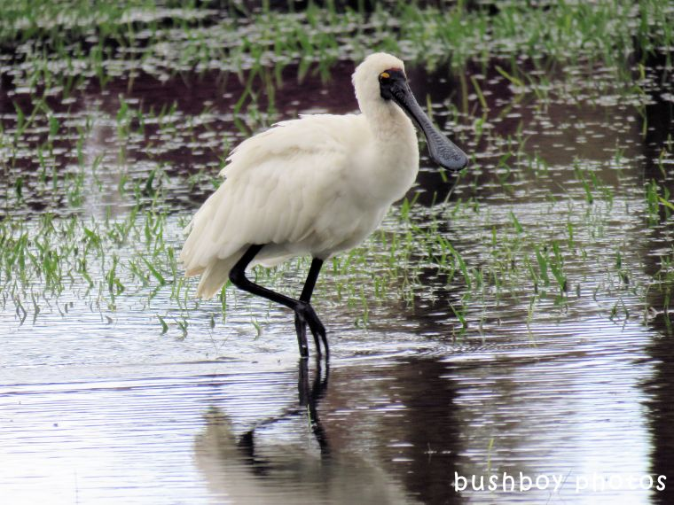 royal spoonbill_wading_named_ballina_april 2018