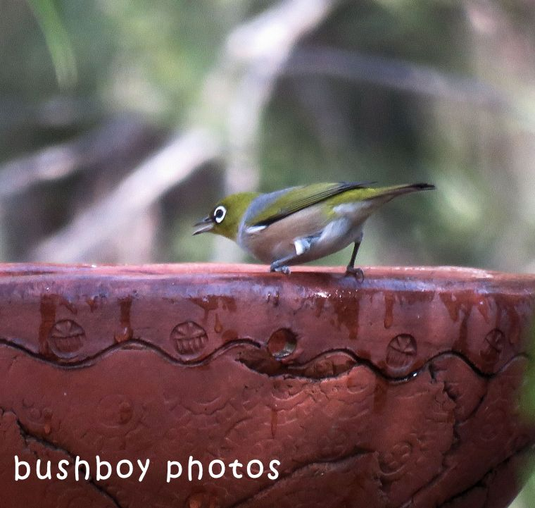 silvereye_bird bath_named_home_may 2018